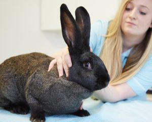 Giant continental rabbit with veterinary nurse